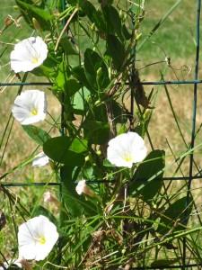bind-weed