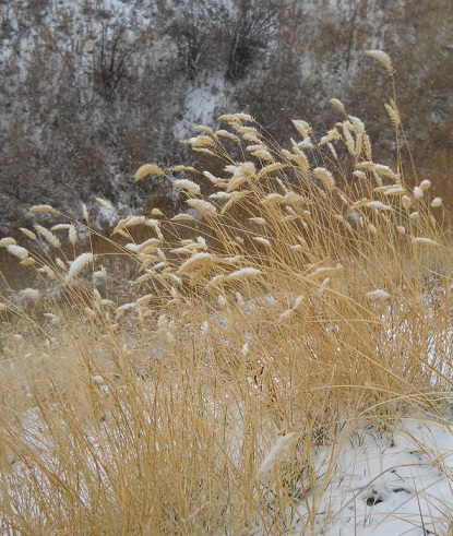 snow weights down the heads of wild grass